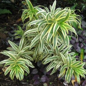 Dracaena reflexa  'Song of India' (Pleomele reflexa)
