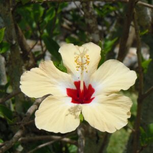 Hibiscus variegated white